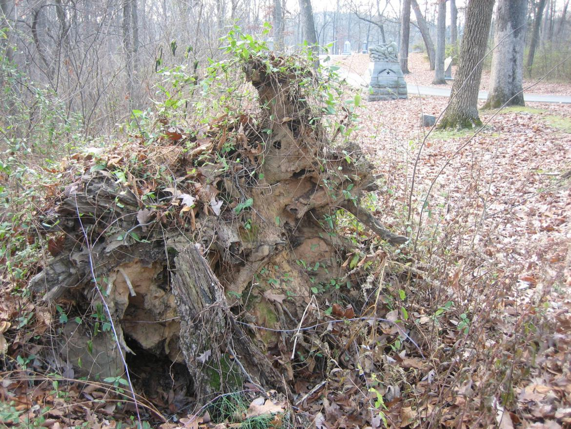 Fallen witness tree