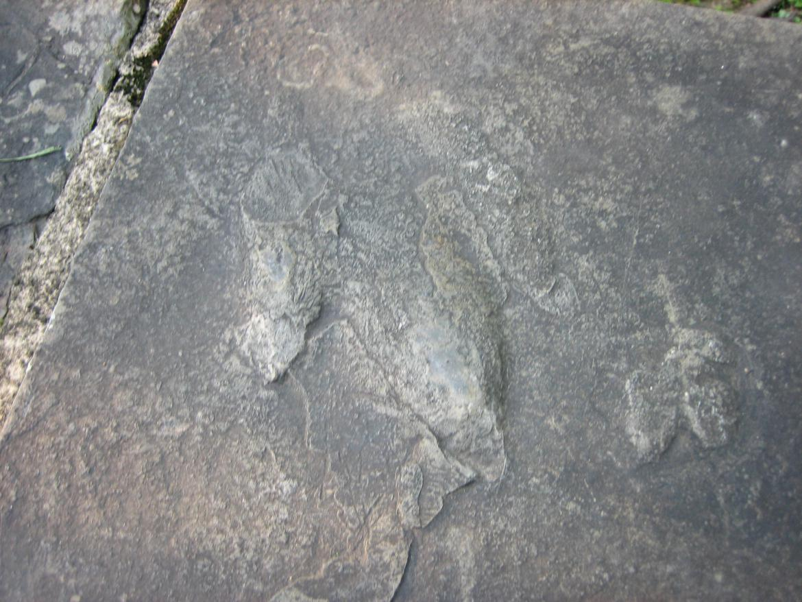 Closeup of Atreipus Milfordensis footprint