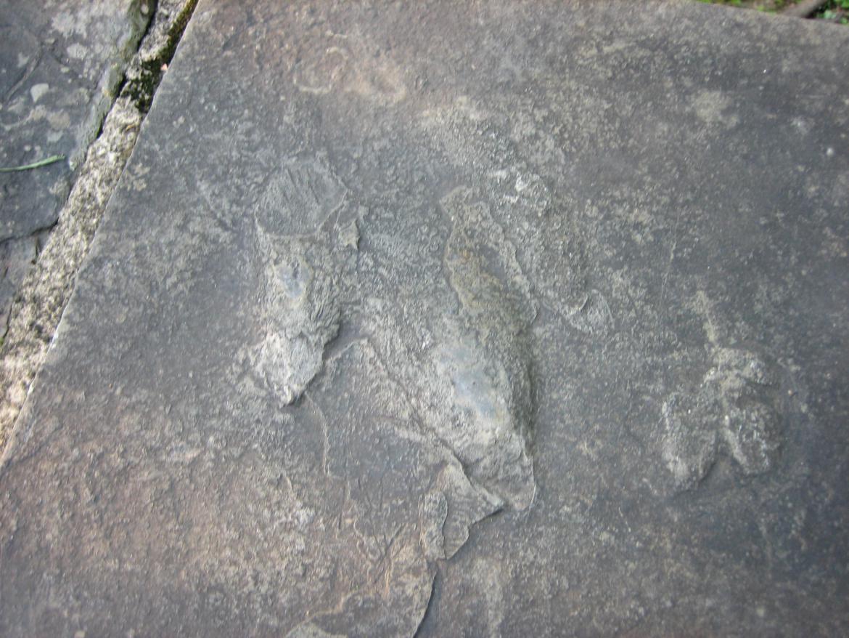 Closeup of Atreipus Milfordensis footprint