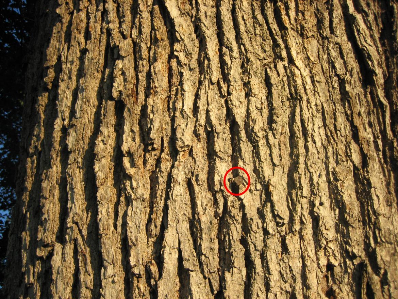 Spike in witness tree