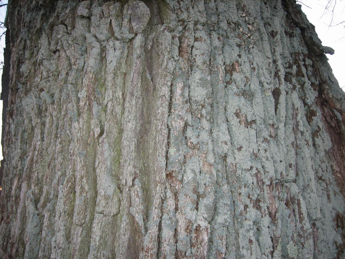 Bark of Sickles Witness Tree